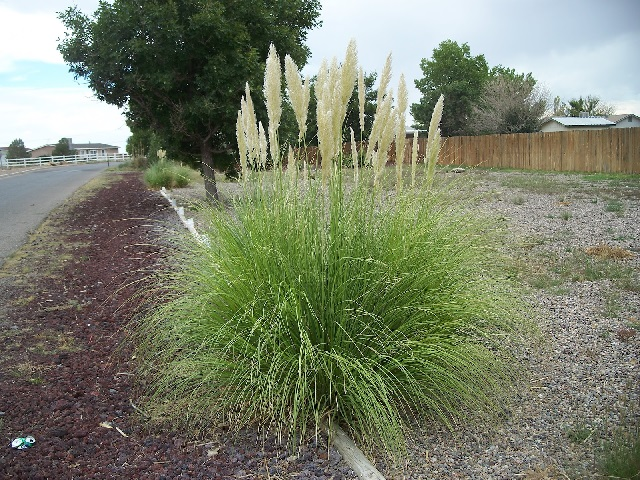 Pampas grass is pretty but once established, it's very hard to remove.