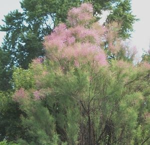 Tamarisk (salt cedar) is lovely but spreads easily.