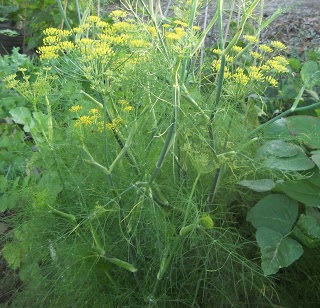 Wild fennel smells great and the seeds can be used in baking; you'll see it frequently in the Calavera Preserve.