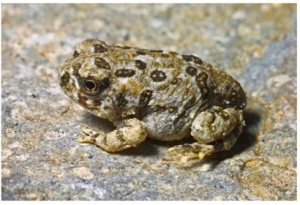 Arroyo Toad, Bufo californicus, and Climate Change
